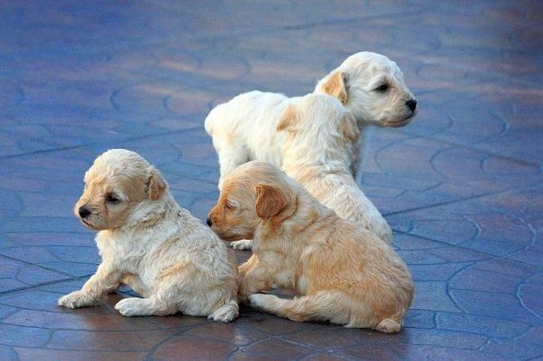1267246746_72404926_3-female-TOY-POODLE-PUPPIES-grand-champion-line-sire-imported-from-japan-Animals-1267246746