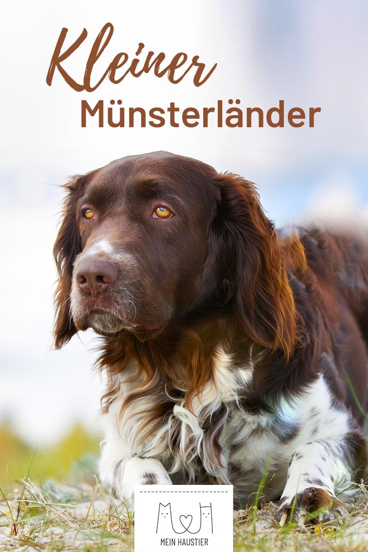 Der Kleine Munsterlander Ist Eine Eher Unbekannte Hunderasse Aus Deutschland Die Geschickten Jagdhunde Sind Die Hunde Rassen Hunderassen Kleiner Munsterlander