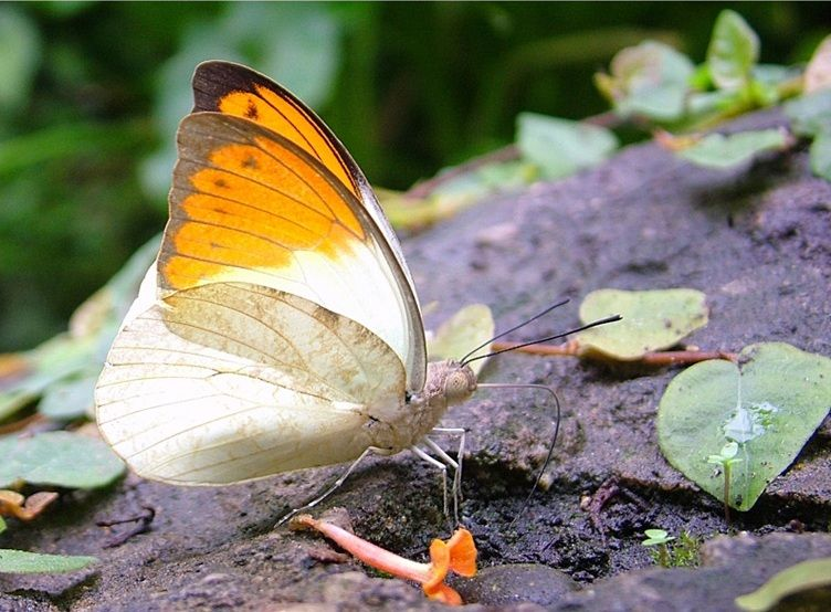 The Great Orange Tip Butterfly Is Native To South And