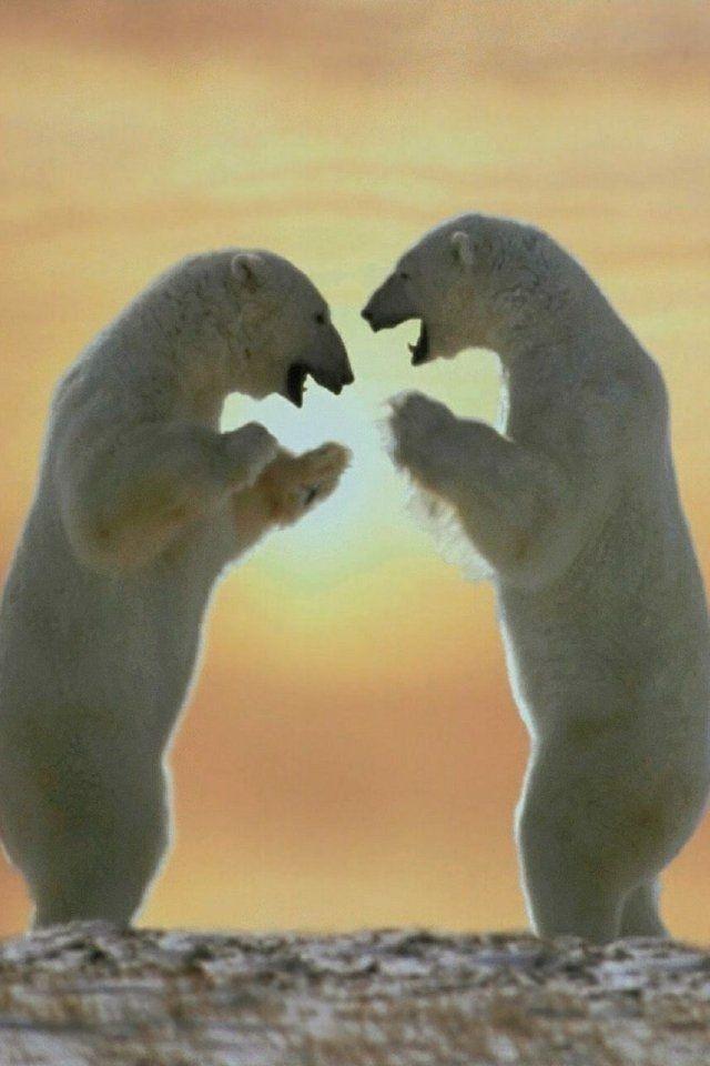 Polar bear rumble