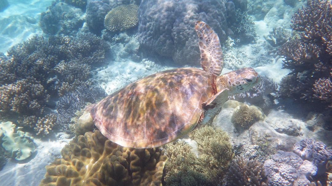 I met a sea turtleand swam with him!!!!!I can't believe it! I'm lucky #greatbarrierreef #michaelmascay by 725fly http://ift.tt/1UokkV2