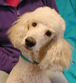 Brutus Young Standard Poodle Debuting For Adoption Poodle