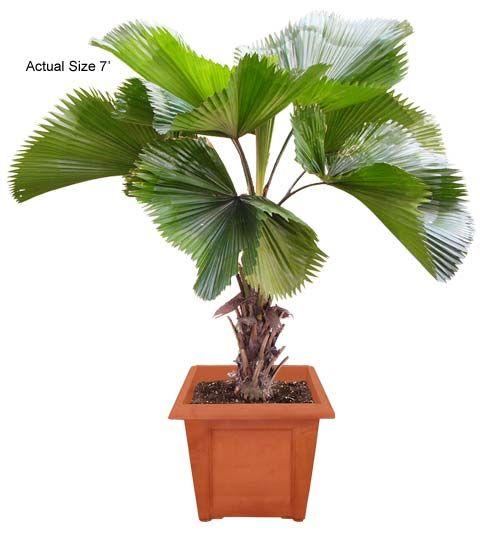 Best Indoor Palm Trees Licuala Grandis Ruffled Fan Palm