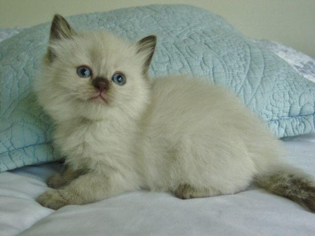 Chocolate Point Mink Ragdoll Ragdoll Kittens For Sale Ragdoll Cats For Sale Cute Cats