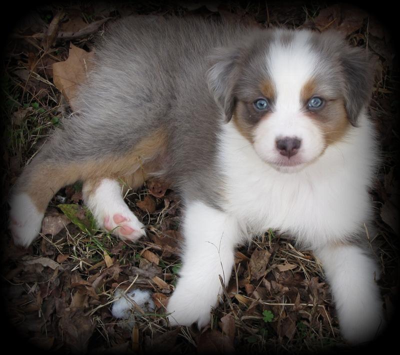 About Steeldust Australian Shepherd Australian Shepherd Dogs Aussie Puppies