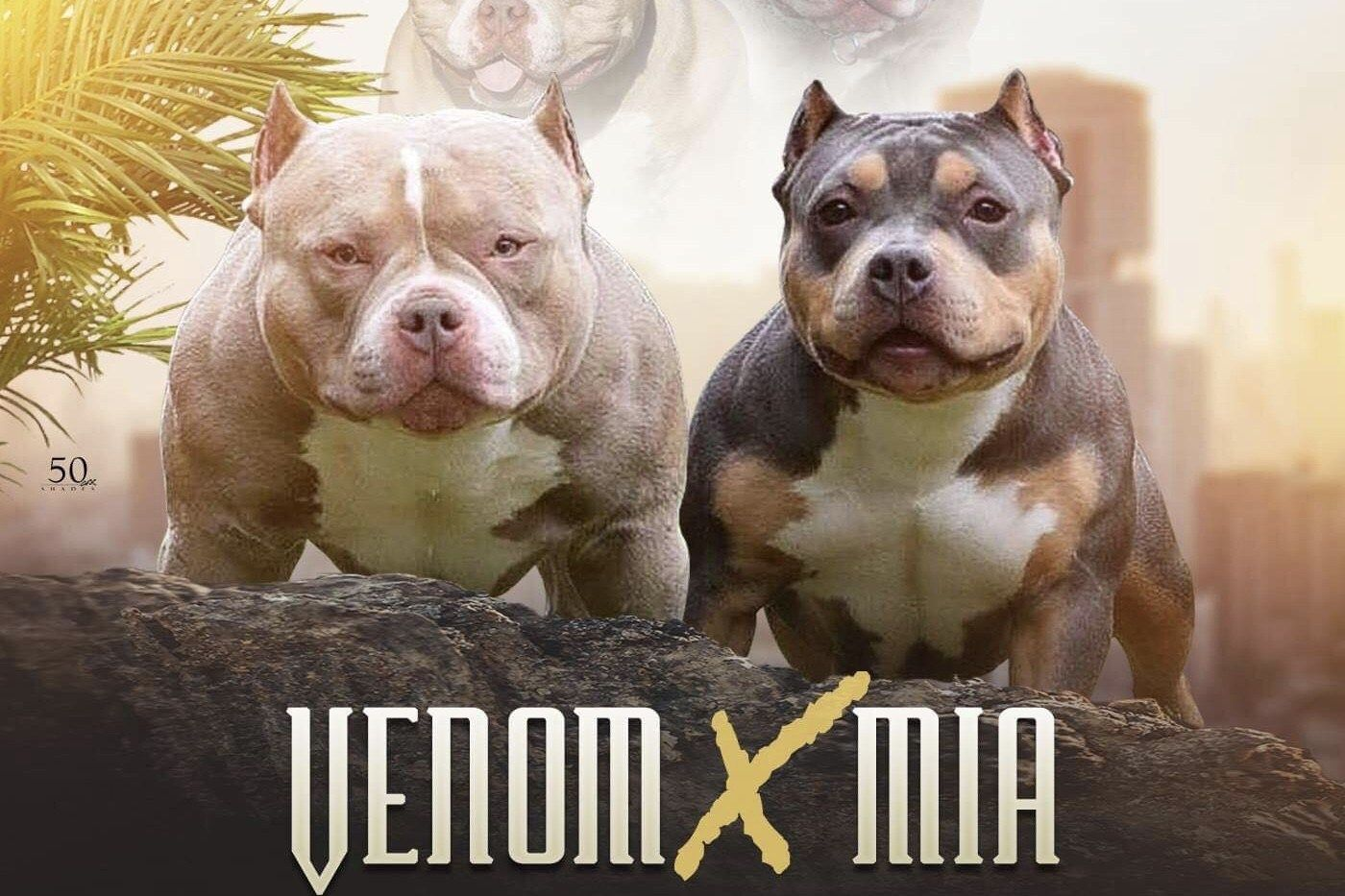 Pocket Bully Breedings Venomline Available Pups For Sale Upcoming Breedings Just Announced Venomline Texas Size Bu Puppies For Sale Pocket Bully Pup