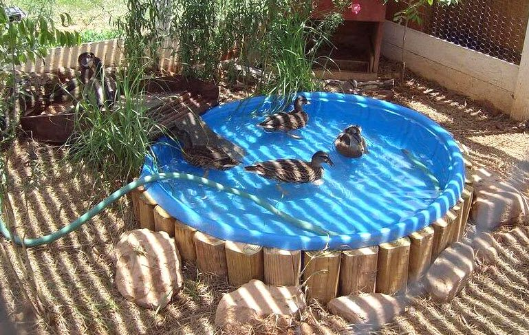 Kiddie Pool Duck Pond - PetDIYs.com | Animal Enrichment ...