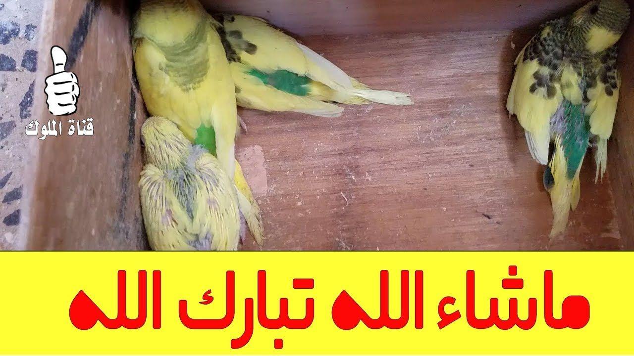 كيف تزيد من انتاج طيور البادجي انتاج البادجي في جماعات بعد تركيب الاعشاش Budgies