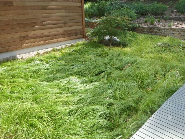 Loving long grass over short carex pennsylvanica the for Short grasses for landscaping