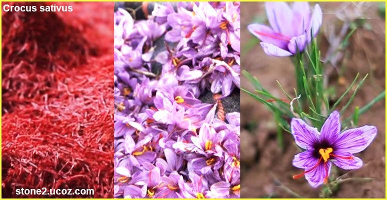 الزعفران او حص العطري Crocus Sativus قسم النبات العطري نبات عطري معلومان عامه معلوماتية Crocus Plants Tri