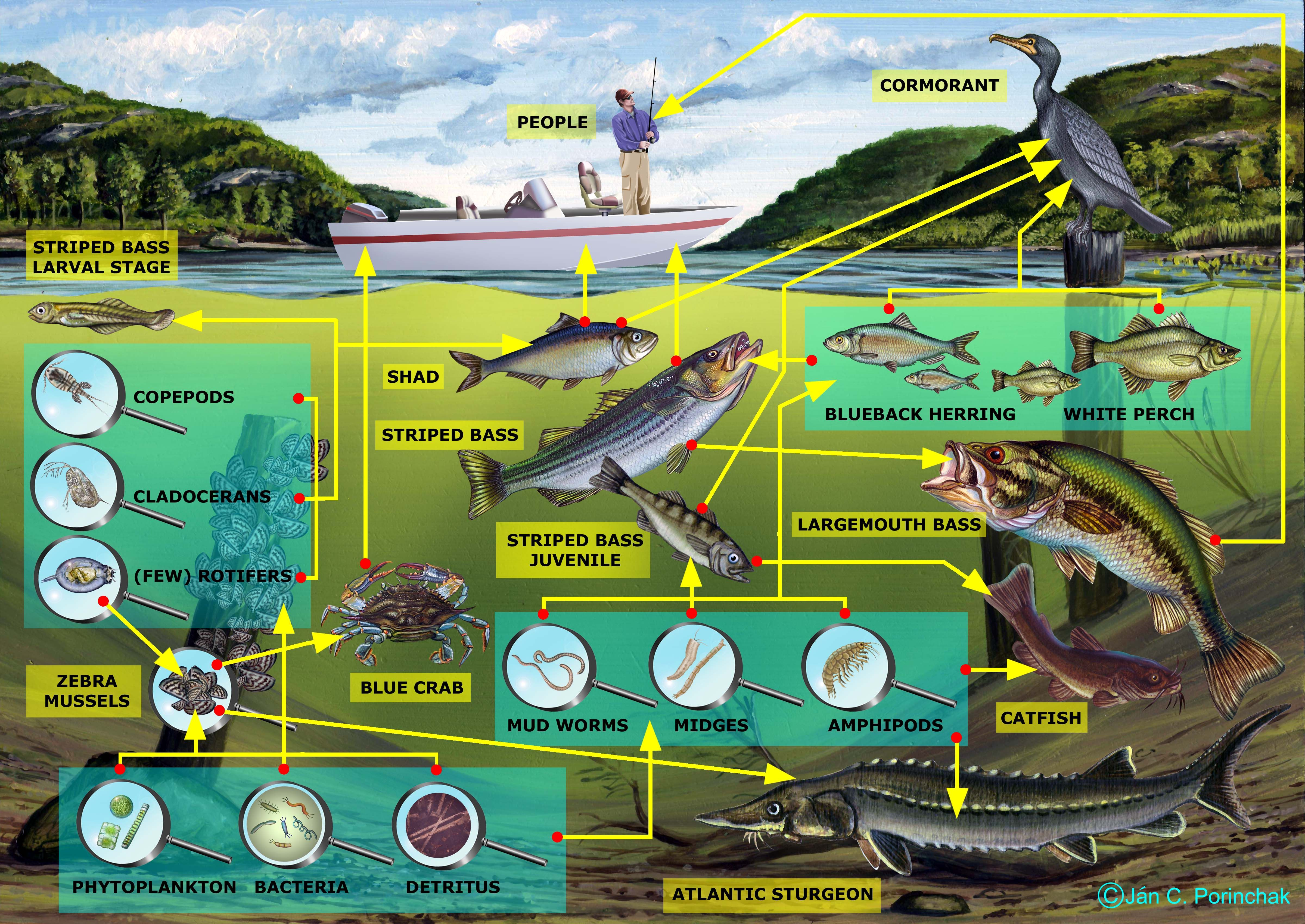 Ecology food chains and food webs freshwater science food chains and food webs sec 2 unity biology 2014 sciox Choice Image