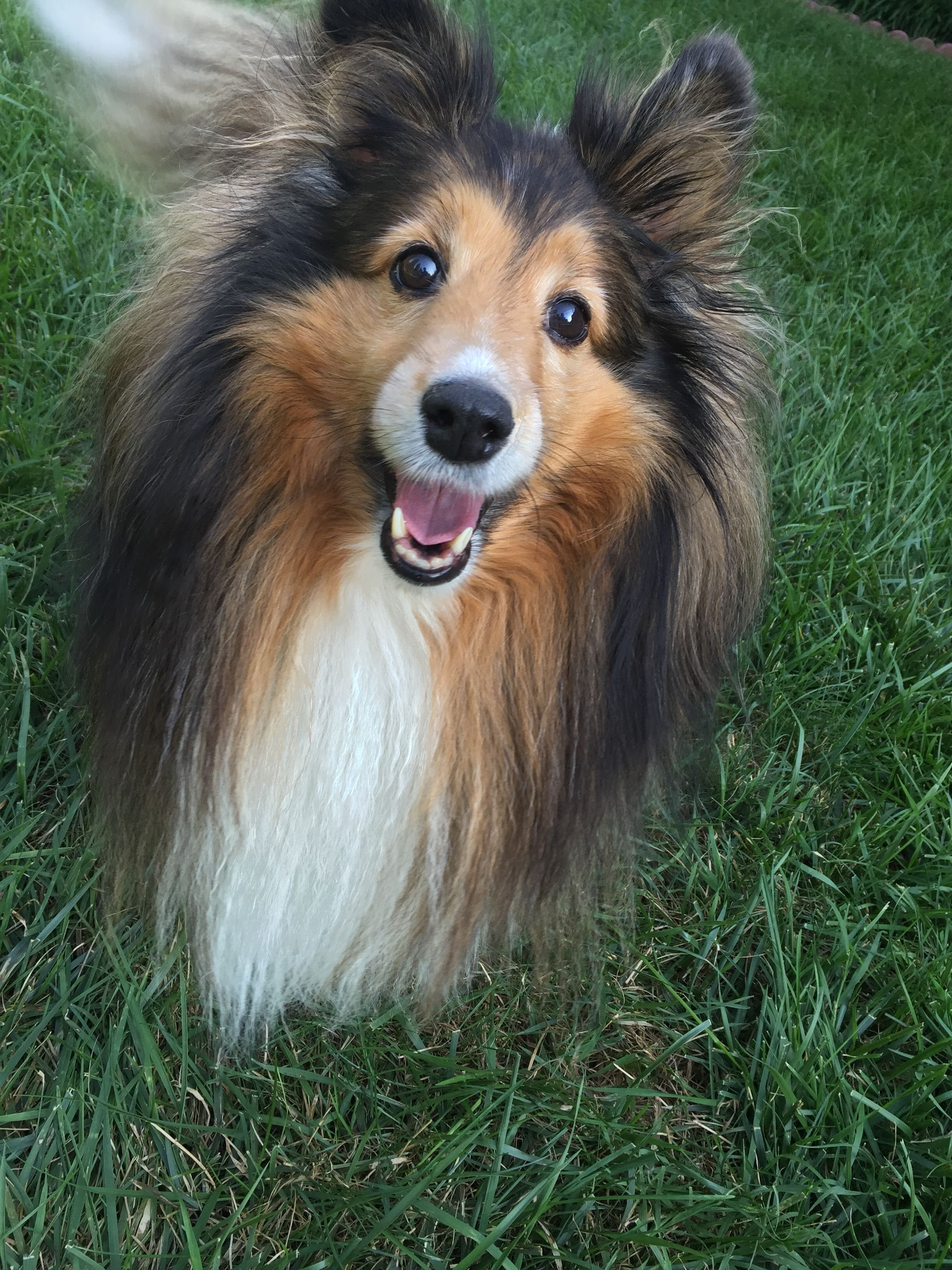 Sheltie Chloe Smiling Sheltie Dogs Sheltie Domestic Dog