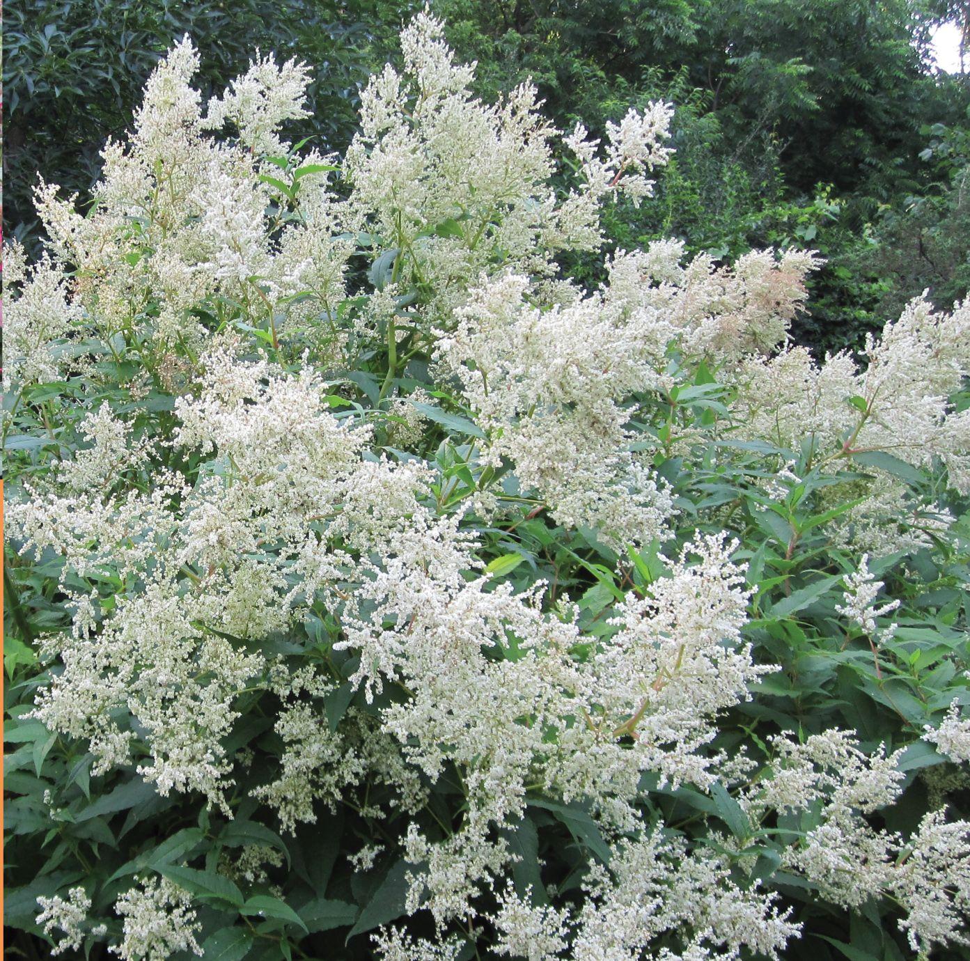 Giant Fleece Flower Persicaria Polymorpha Is An Underused