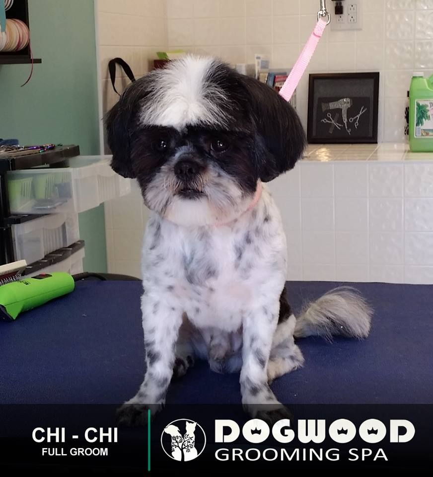Mr Chi Chi Is In The House For A Full Groom Dogwood Grooming
