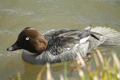 A female Common Goldeneye swimming in a pond, Kouvola Finland
