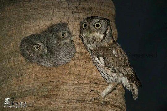 Mama and babies.  Eastern Screech Owls.