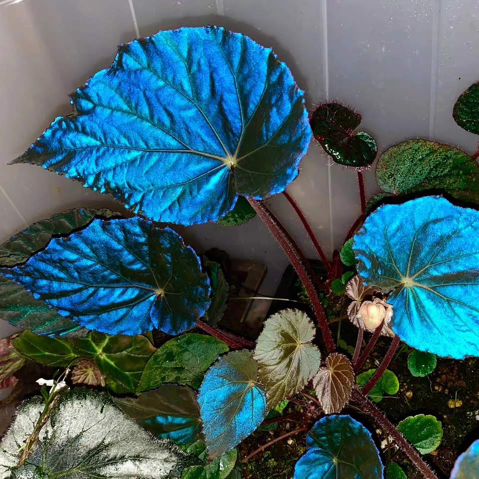 Begonia Pavonina For Sale Happyforest In 2020 Blue Plants Colorful Plants Plants