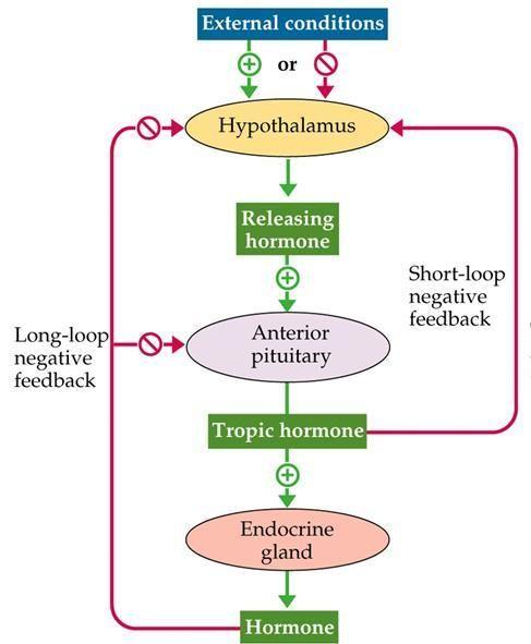 Endocrine Feedback Loop Google Search Anatomy Pinterest