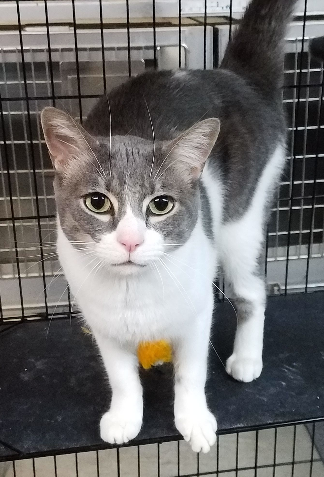 Adopt Rocky On Petfinder Cat Adoption Domestic Short Hair Cats