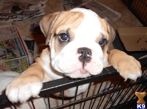 Blue Tri Olde English Bulldog Puppy For Sale Allot Of Bully