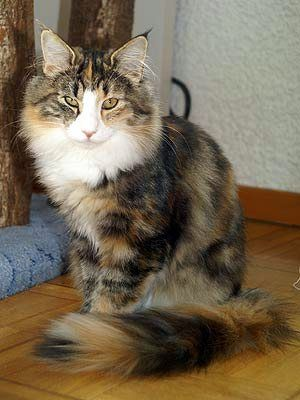 Black Tortie Tabby Blotched With White Color Norwegian Forest Cat