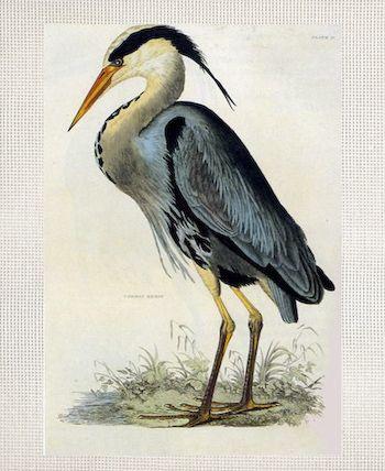 Great Blue Heron - John James Audubon.