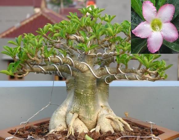 Адениум (Adenium arabicum), сорт на выбор, семена.