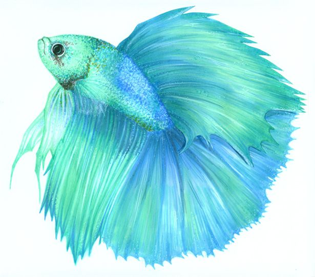 Betta splenden ii by on for Betta fish painting