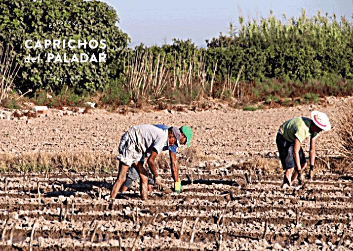 En Caprichos hemos terminado de plantar los esquejes de nuestras alcachofas. Nuestras plantaciones se caracterizan por ser cultivos tradicionales. Nuestra situación geografica, localizada en la Vega Baja del Segura. Elegimos esta zona por su clima y su tierra. Riego tradicional por inundación. Con estos valores señalados nuestras alcachofas se diferencian del resto, por su textura y sabor.