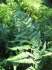Dryopteris Australis, NC Native   Missouri Botanical Garden Plant Finder