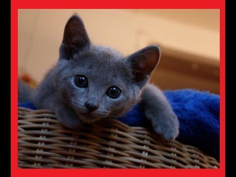 RUSSIAN BLUE KITTENS VIDEO       YOUTUBE CHANNEL:  http://www.youtube.com/user/TheFederic777?sub_confirmation=1  FACEBOOK:  https://www.facebook.com/KittensLoveForever/  GOOGLE +: https://plus.google.com/u/0/115624639852623703105/posts  BLOG:  http://look-how-cute-kittens-2.blogspot.com/  BLOG:  http://make-dogs-be-happy.blogspot.com/  #KittensCatsMeowing #KittensCatVideo  #KittensCatsFunny #KittensCatCompilation