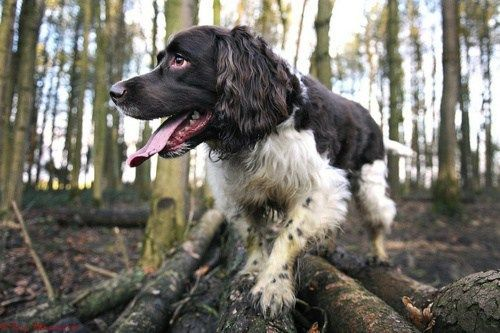 Did You Know That The English Springer Spaniel Is The Founder Of All The English Hunting Spaniels Breeds Springer Spaniel Spaniel Dog English Springer Spaniel