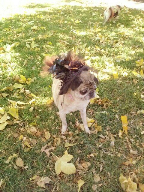 Witch pug at Pug-O-Ween in Wichita, Kansas.