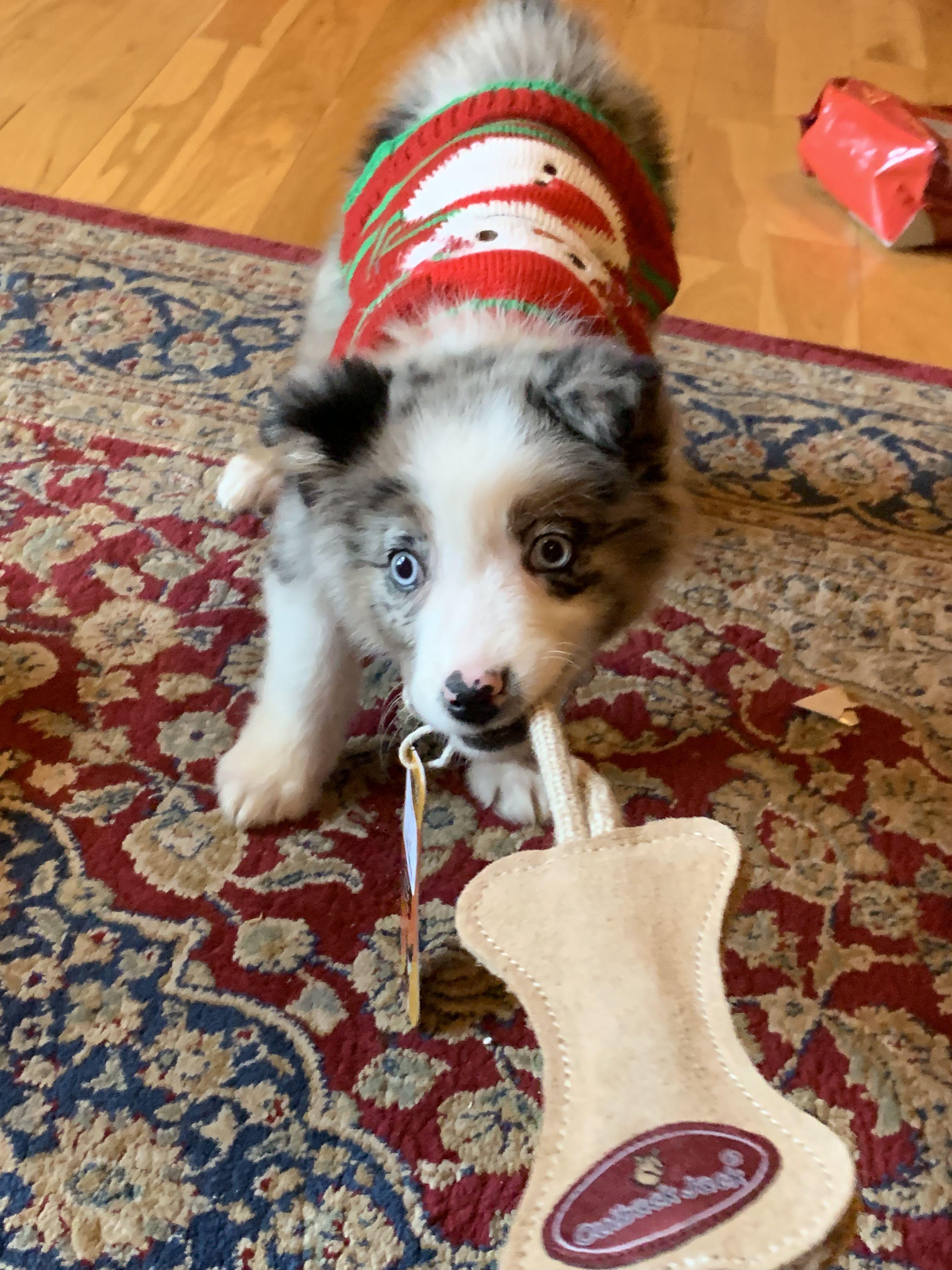 Blue Eyed Australian Shepherd Aussie Puppy Christmas Australian