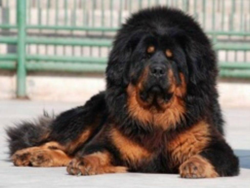 Tibetan Mastiff Tibetan Mastiff Hd Wallpaper Wallgood Com