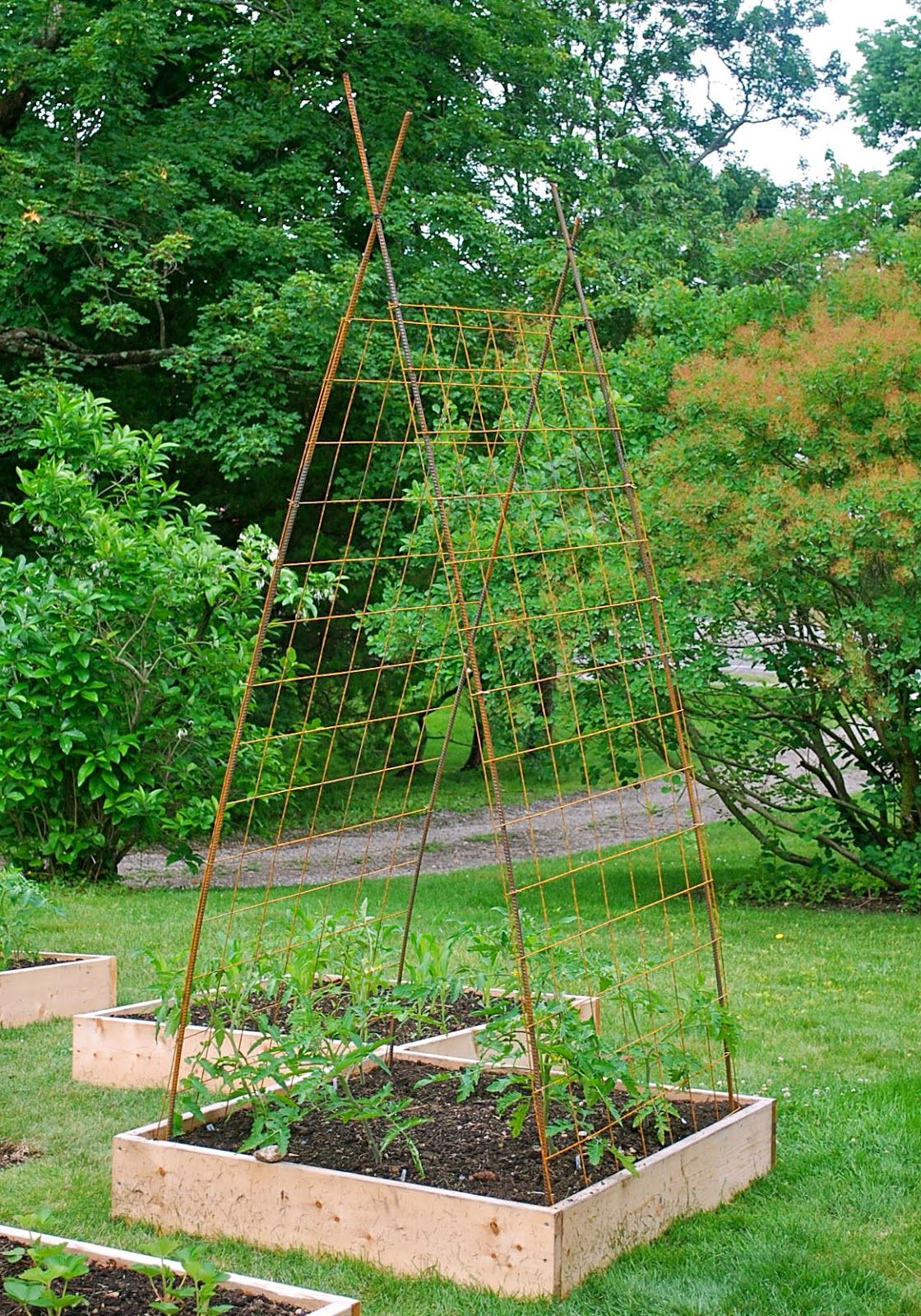 Building tomato trellises from rebar and remesh tomato