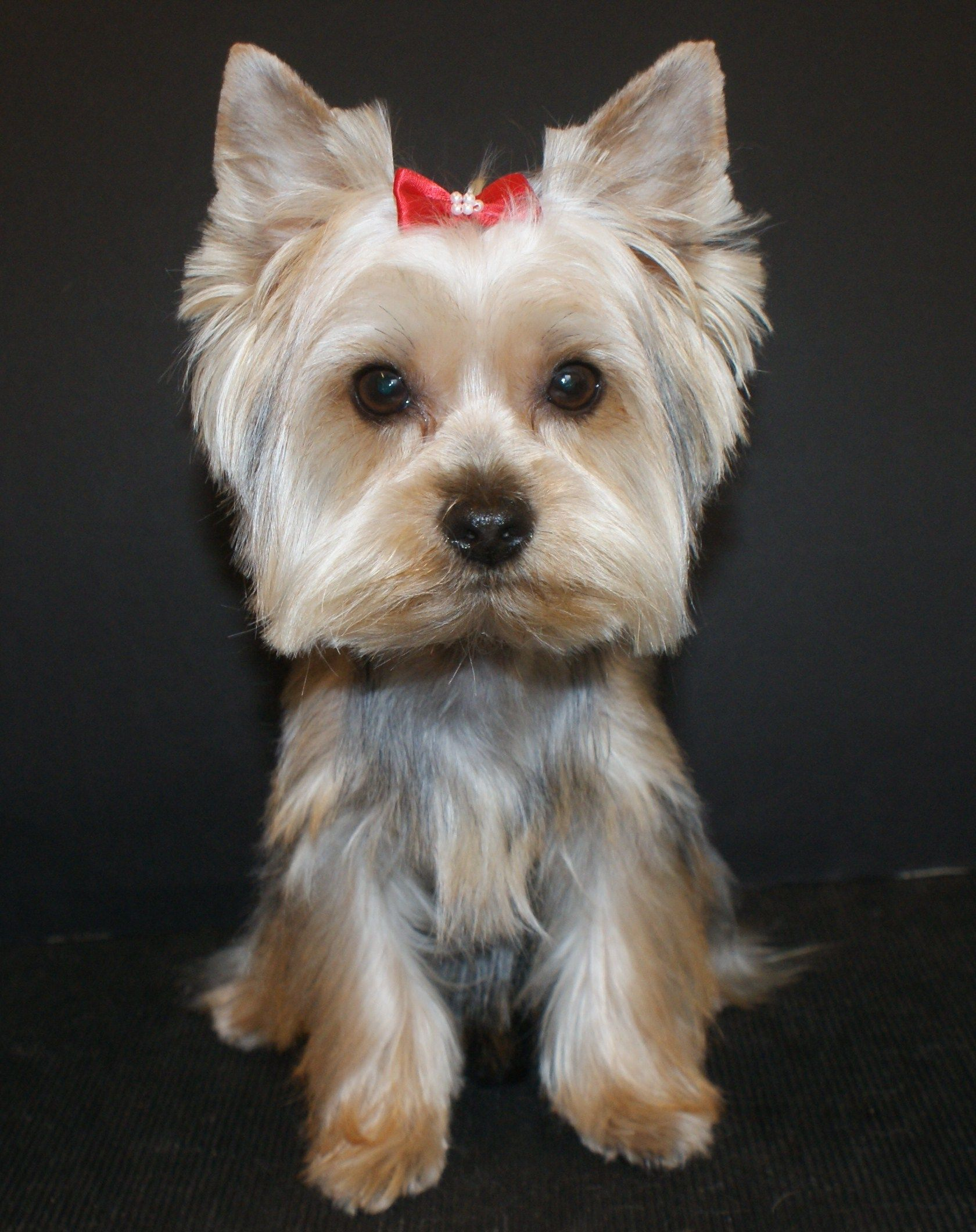 dog grooming yorkshire terrier -- visit the image link for more
