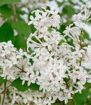 Flieder Flowerfest White Top Qualitat Plants Garden