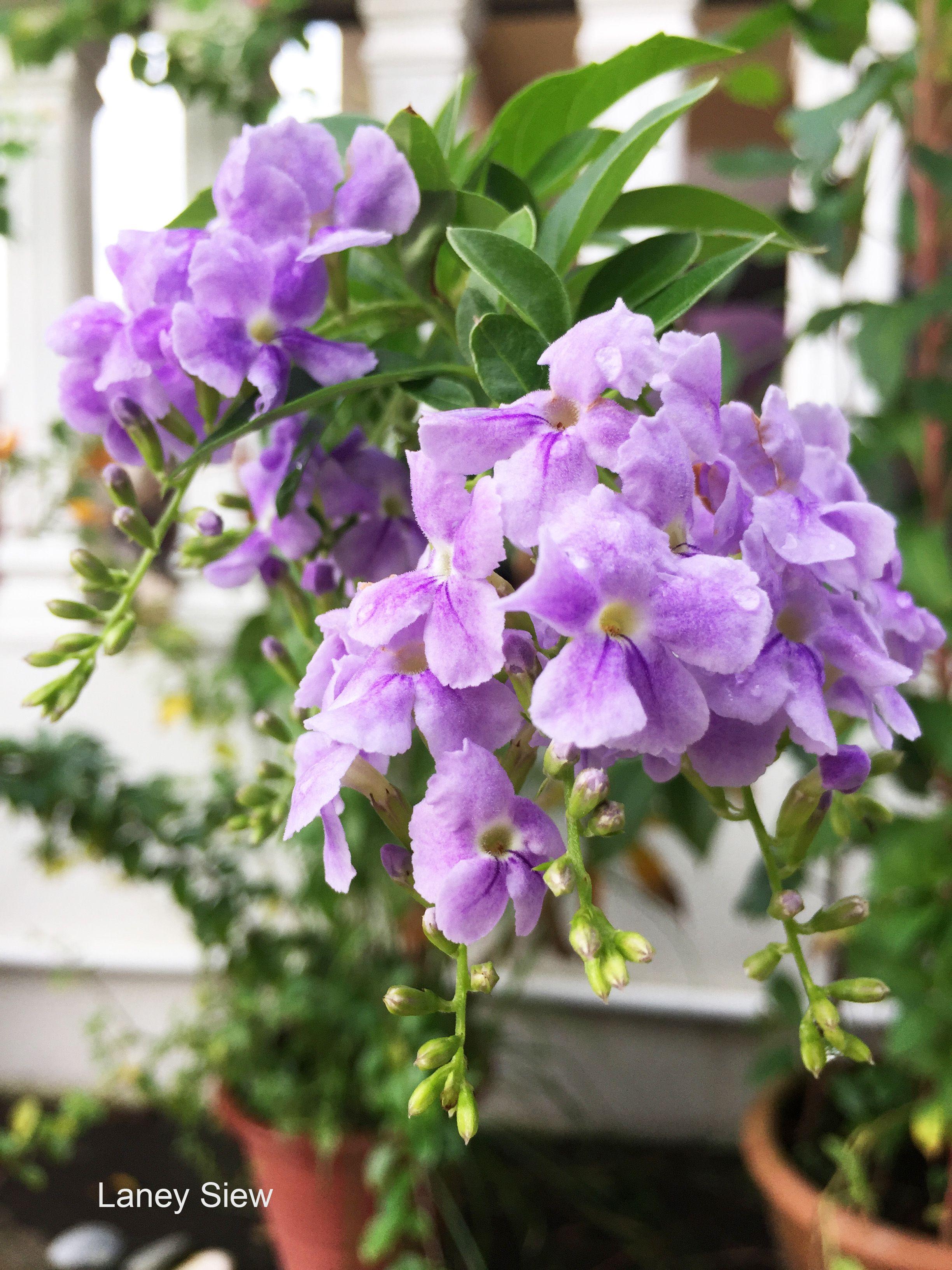 Surprisingly these cheerful little purple flowers are grown in my surprisingly these cheerful little purple flowers are grown in my garden she has a mightylinksfo