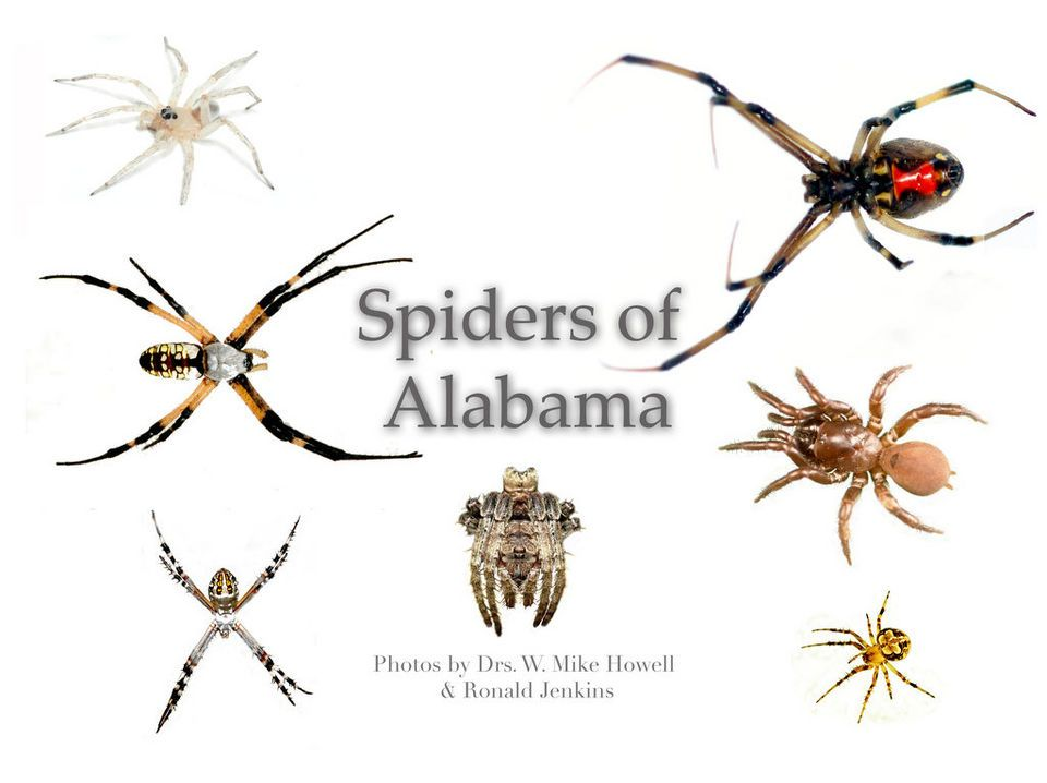58 Spiders In Alabama You Should Know Good To Know Common