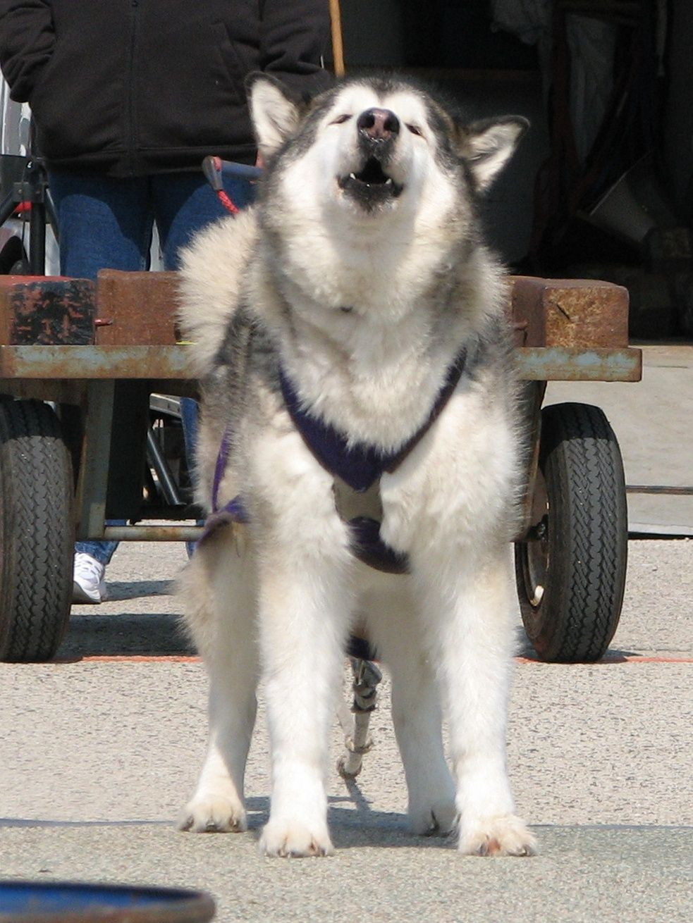 Working Dog Rules And Applications Alaskan Malamute Club Of