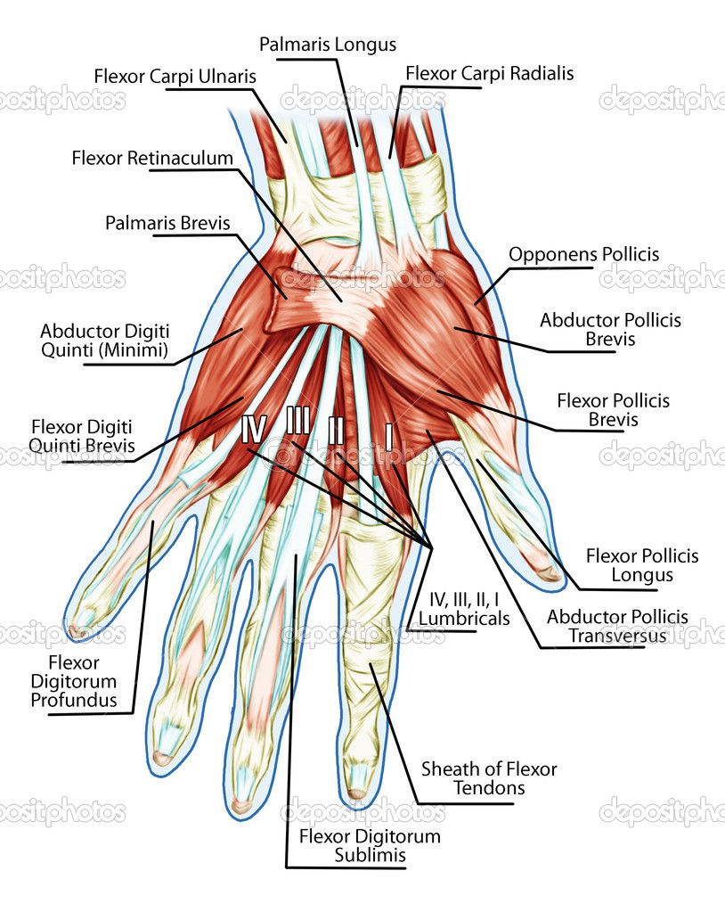 anatomy photo reference | Hand Anatomy Tendons is an anatomy picture ...