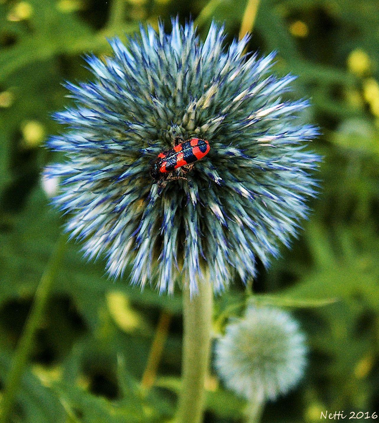 aufblühende Kugeldistel mit gemeinem Bienenkäfer