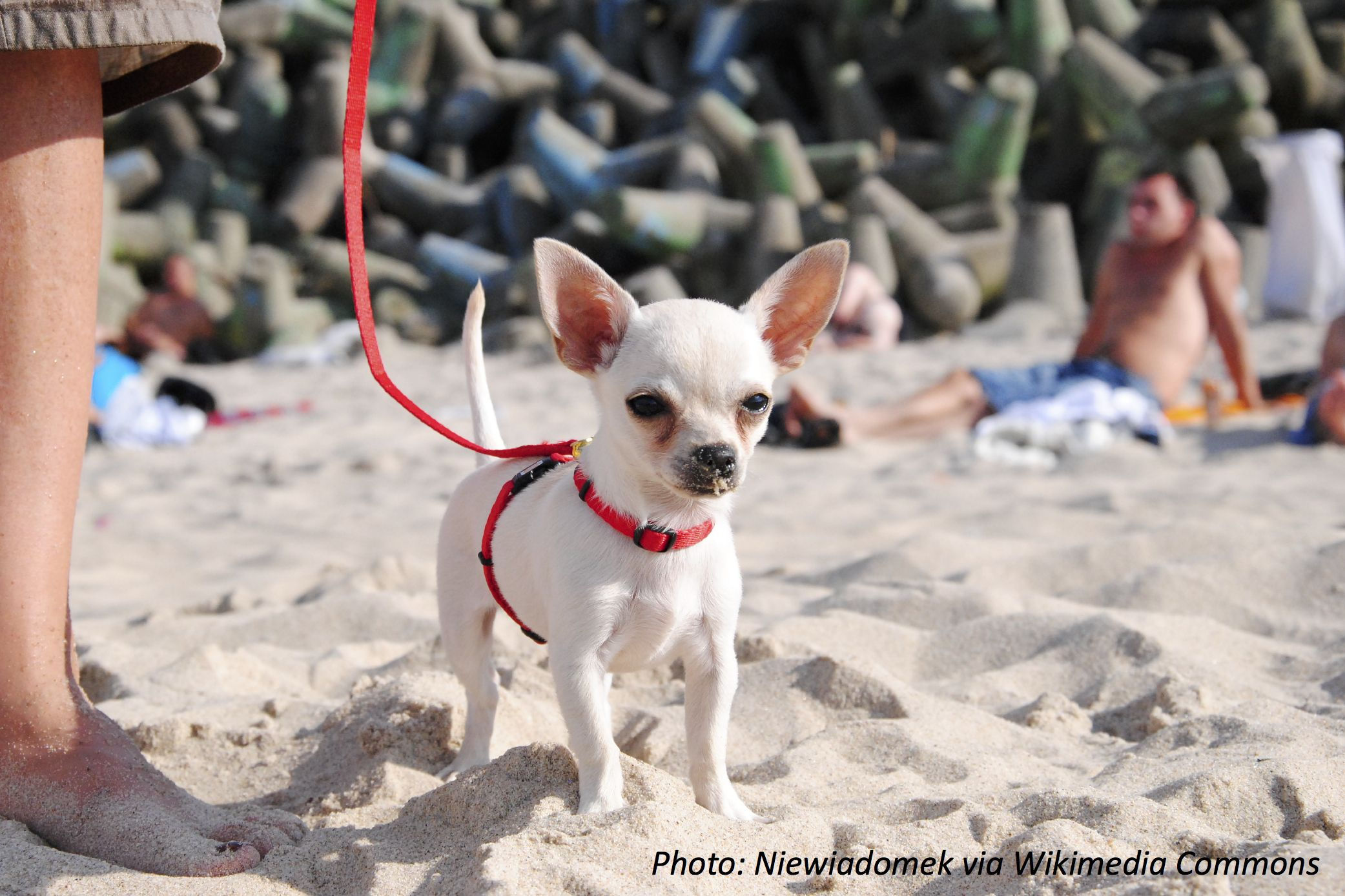 Chihuahuas Might Not Be The Biggest Dogs But They Ve Got The Biggest Hearts When It Comes To Competitions Catch Dog Friendly Beach Very Cute Dogs Dog Friends