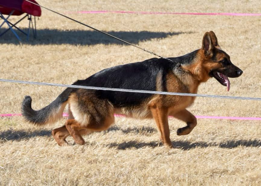 Pin On German Shepherd Show Dogs