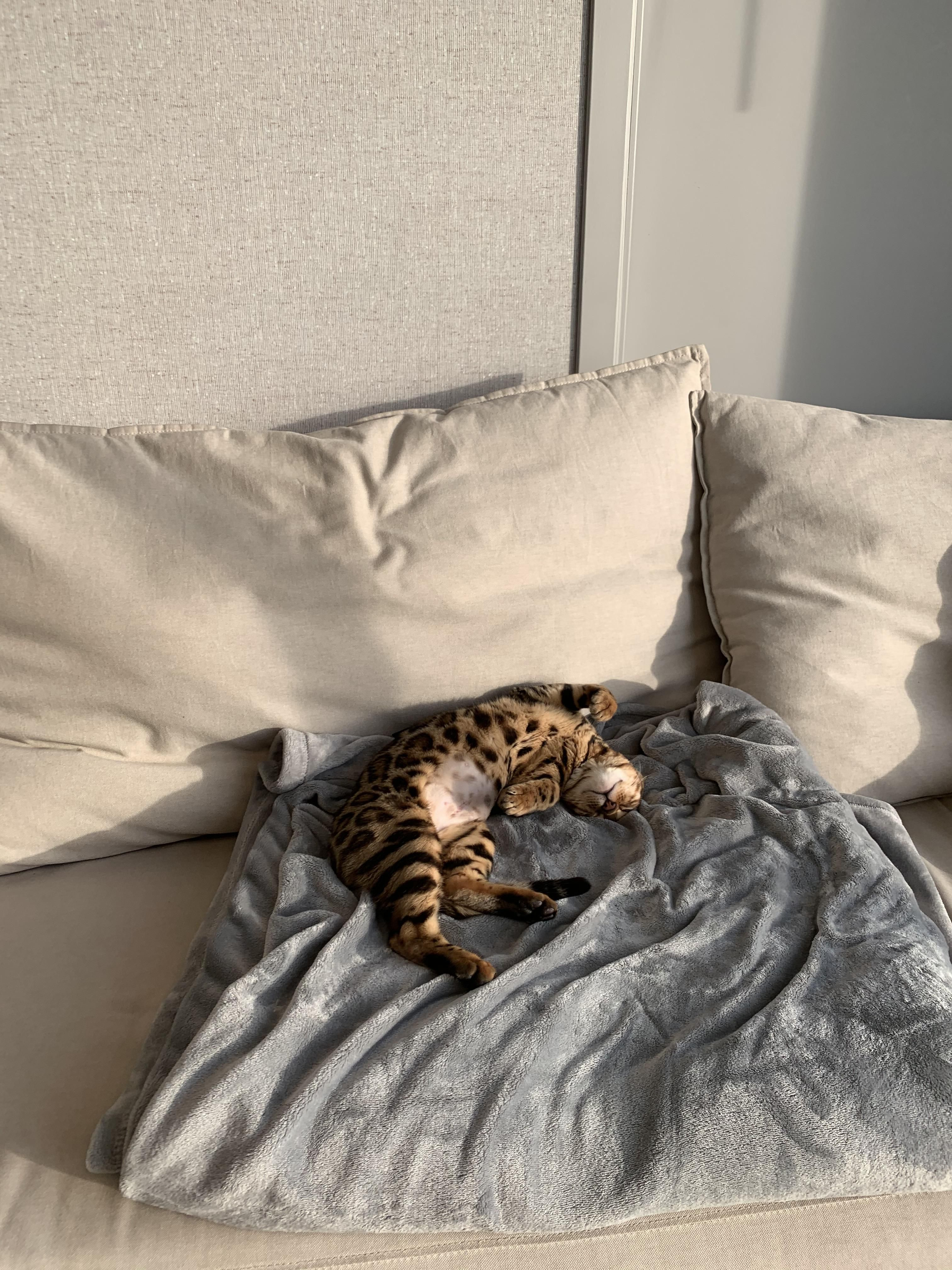 Any Experience With A 3 Months Old Of A Different Breed With Your Bengal Kitten 6 Months Old Ish Did They Get Along Well Advice Bengal Kitten 6 Month Olds Bengal