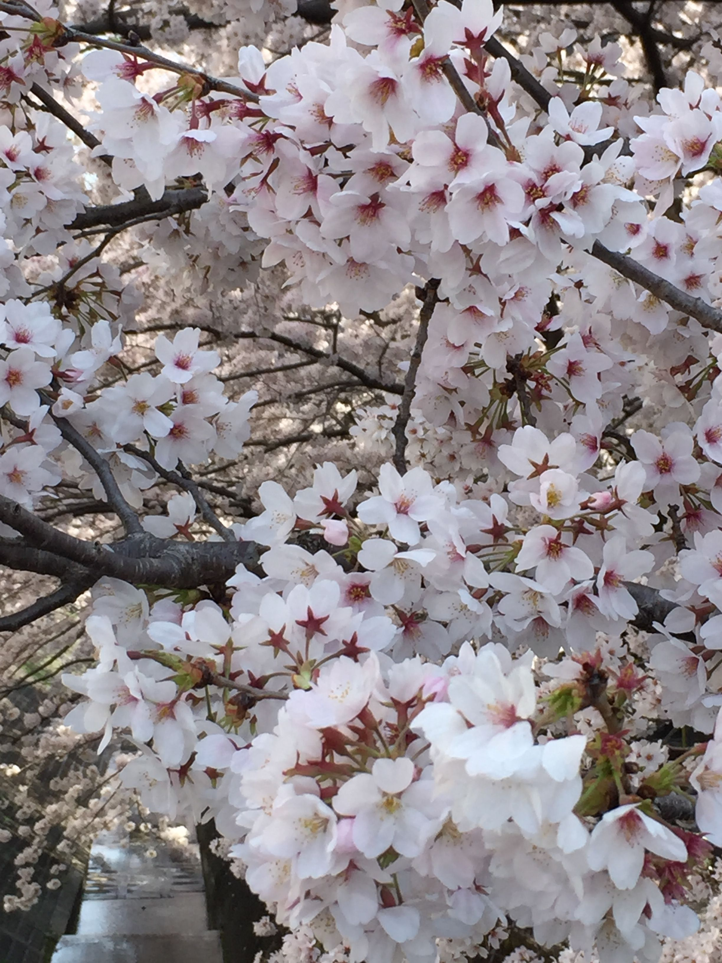 Pin Oleh Ni Putu Hany Yulia Di Cherry Blossoms