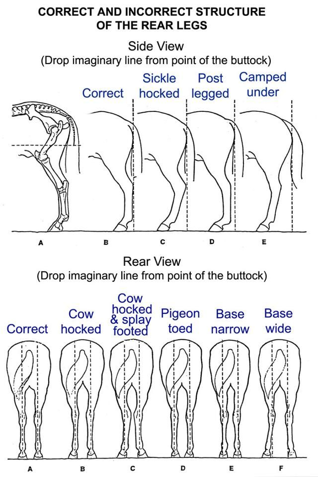 Hind end conformation.. Good to know for my FFA competition ...