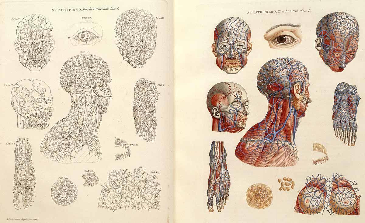 Grabado sobre la anatomía de la cabeza de Paolo Mascagni (1833 ...