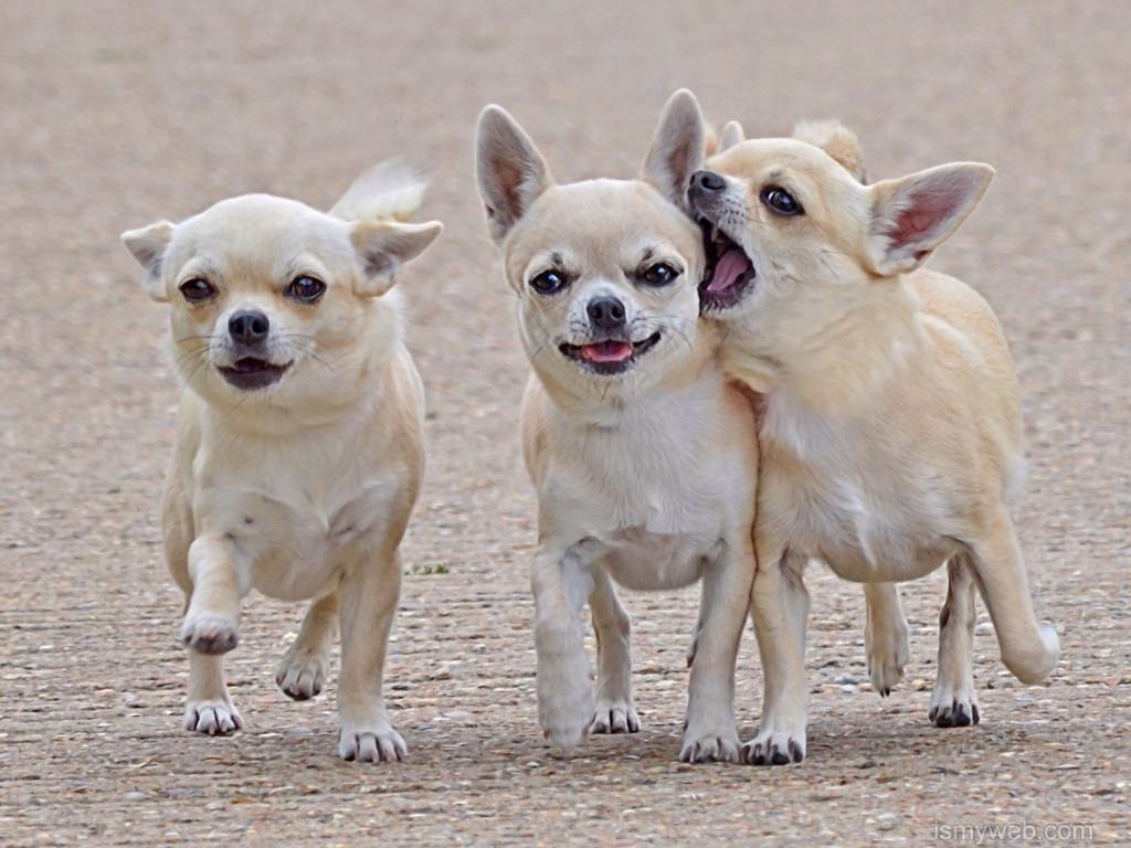Chihuahua Dog Wallpaper Download 2 Wallpaper Pinterest